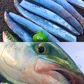 かいさんの神奈川県横須賀市でのタチウオの釣果写真
