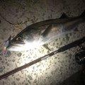ナオキさんの鹿児島県薩摩川内市でのスズキの釣果写真