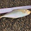 ハッピーターンさんの新潟県北蒲原郡での釣果写真