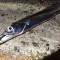 kiiysd13さんの大阪府でのタチウオの釣果写真