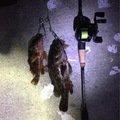 はたかつさんの愛知県海部郡でのタケノコメバルの釣果写真