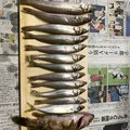 しんさんのシロギスの釣果写真