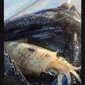 kaito@さんの福岡県でのアオリイカの釣果写真