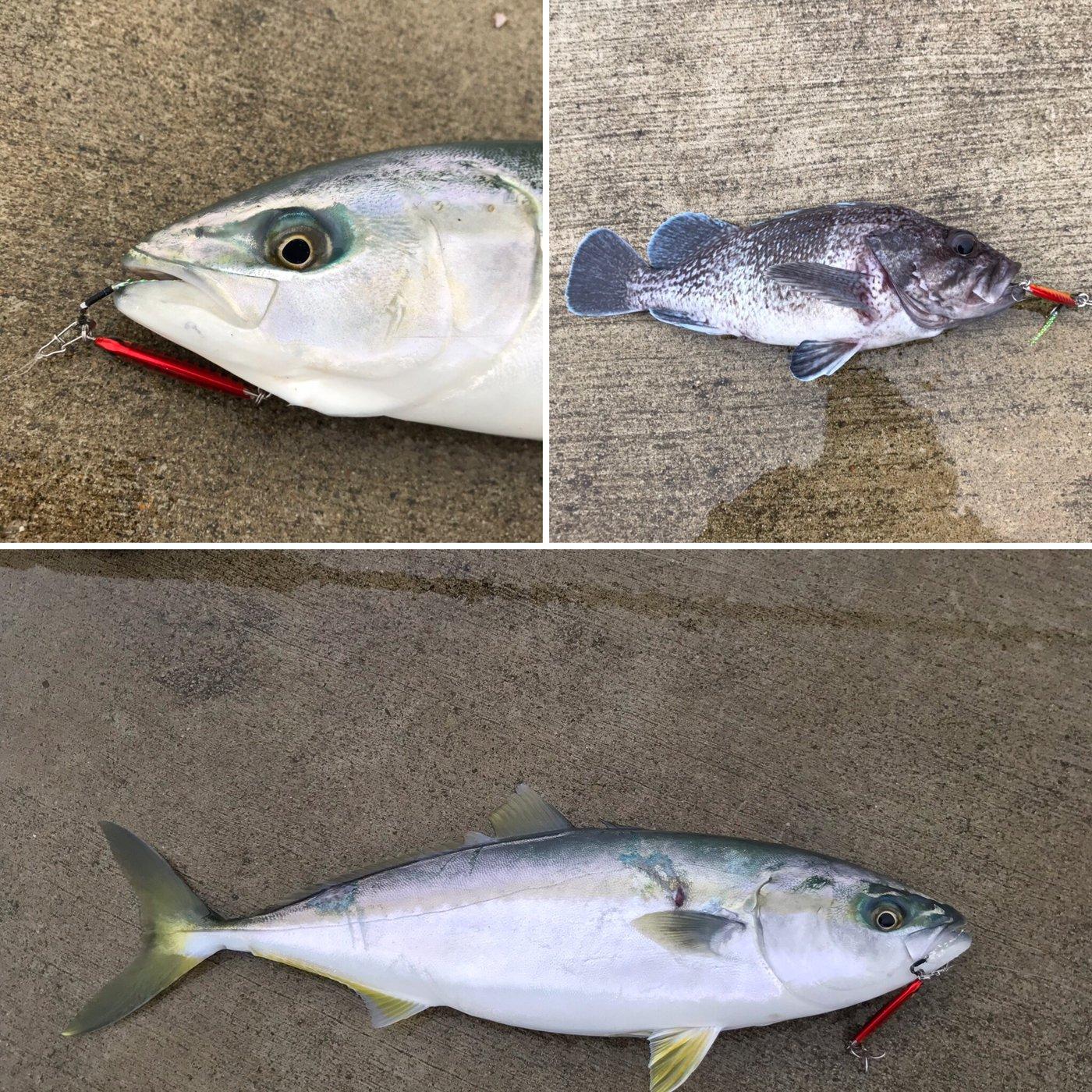 hatukisekiさんの投稿画像,写っている魚はブリ,キツネメバル