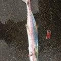 マナティさんの山形県飽海郡での釣果写真