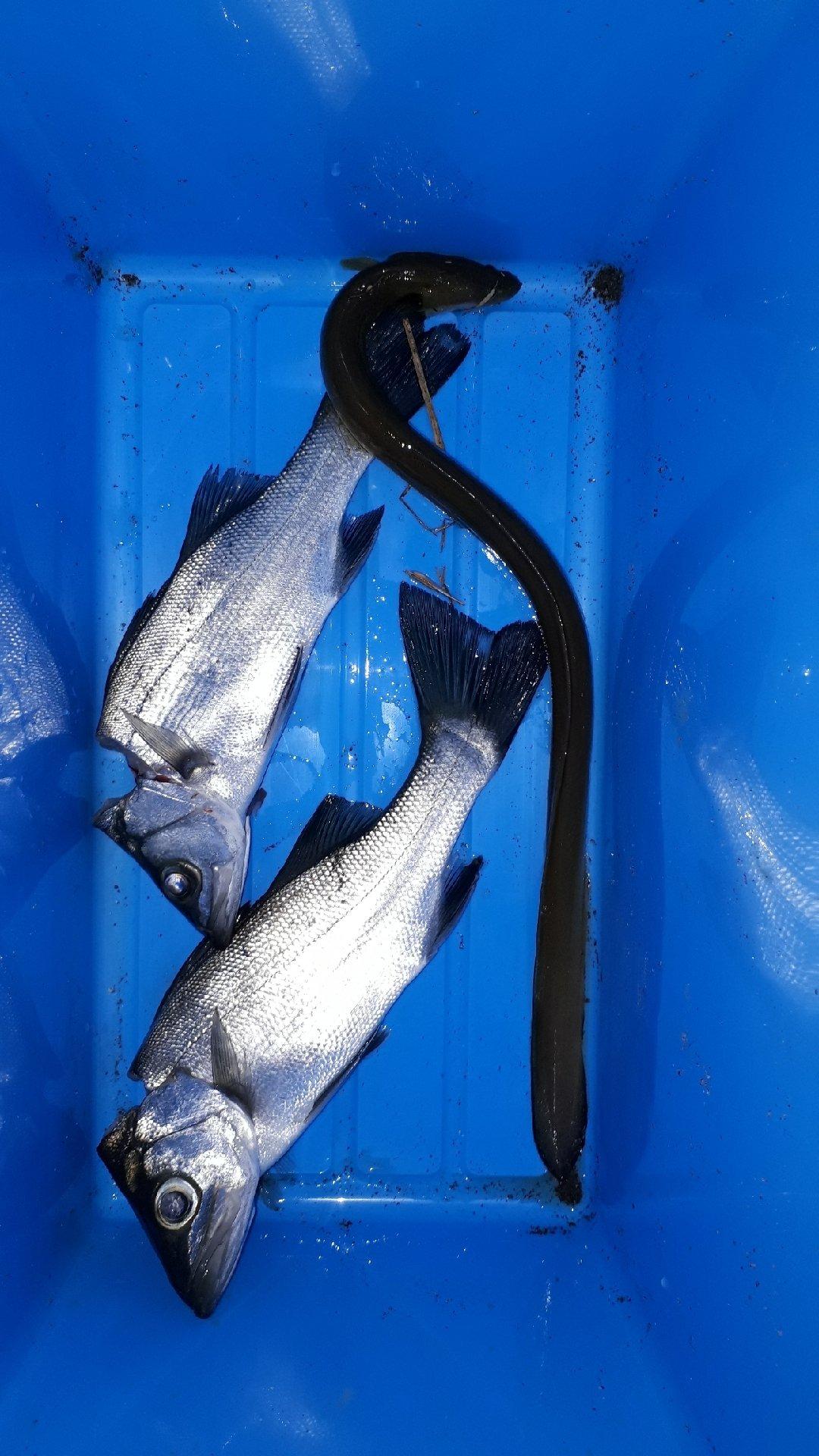 対々和さんの投稿画像,写っている魚はスズキ,ウナギ
