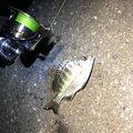 かーずさんのアカカサゴの釣果写真