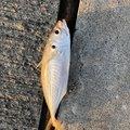 りっくさんの福島県での釣果写真