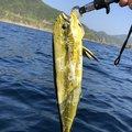 さとしさんの鹿児島県でのシイラの釣果写真