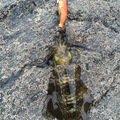 やきいもさんの山口県防府市でのアオリイカの釣果写真