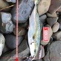 peeさんの和歌山県での釣果写真