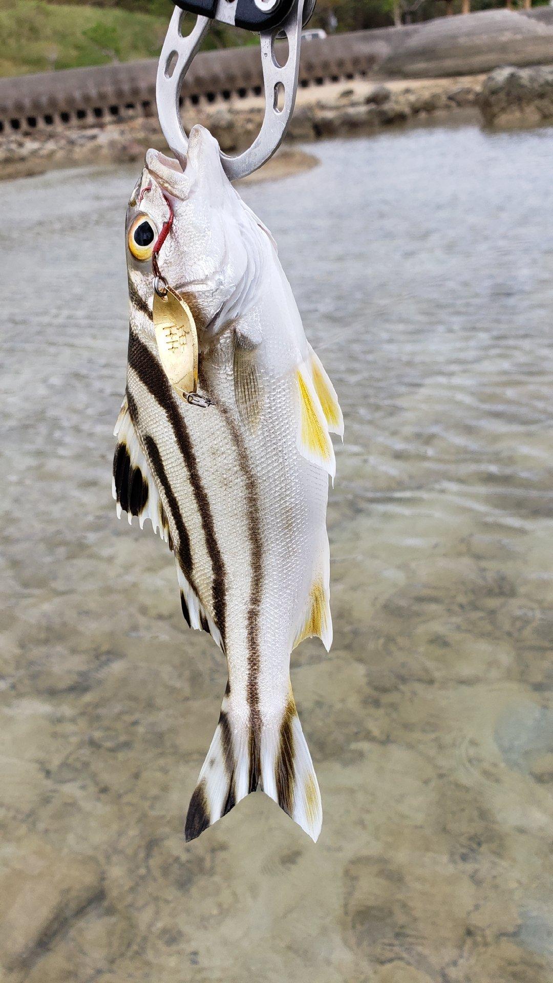 ミズノ・アワさんの投稿画像,写っている魚はコトヒキ