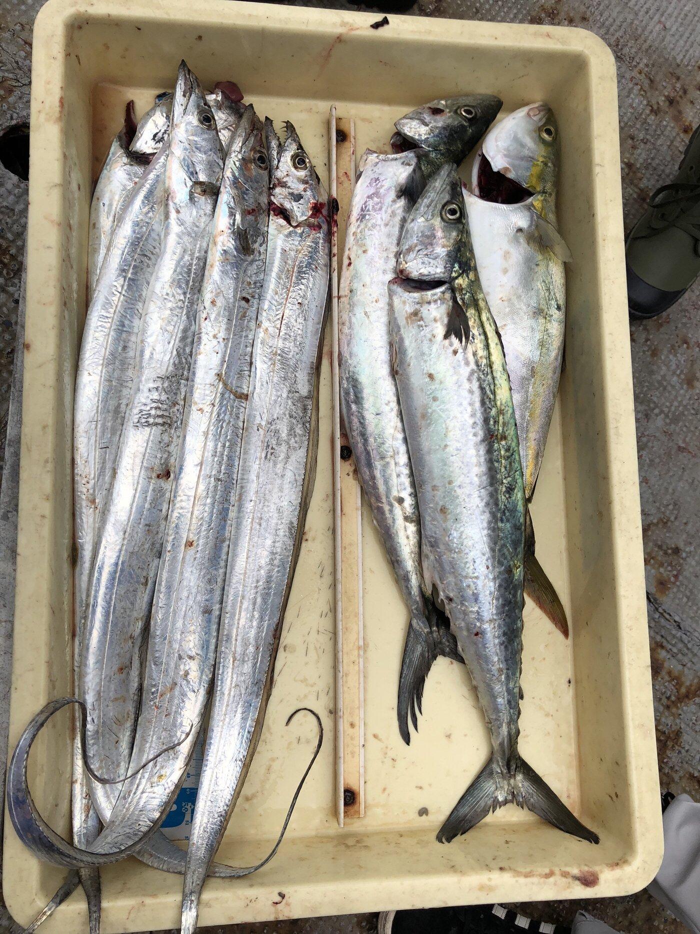 Daikiさんの投稿画像,写っている魚はタチウオ,ブリ,サワラ