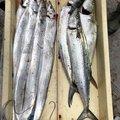 Daikiさんの大阪府岸和田市でのタチウオの釣果写真