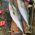 もりたつさんの鹿児島県出水市での釣果写真