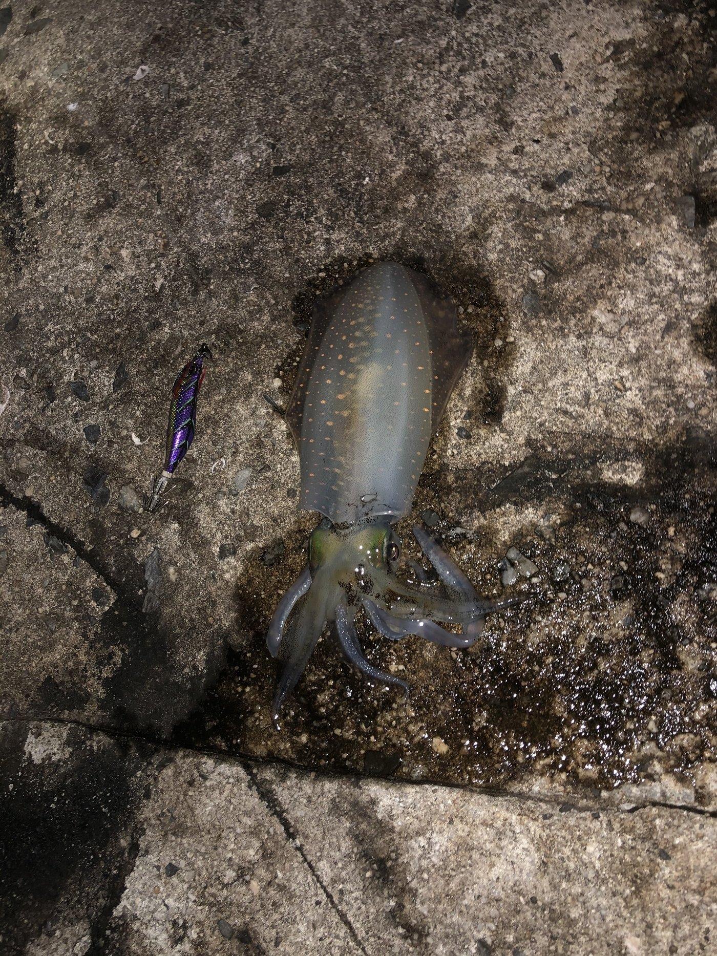 がしーさんの投稿画像,写っている魚はアオリイカ