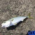 ユウ@大分釣りさんの大分県大分市での釣果写真