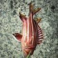ズヤさんの鹿児島県南さつま市でのテリエビスの釣果写真