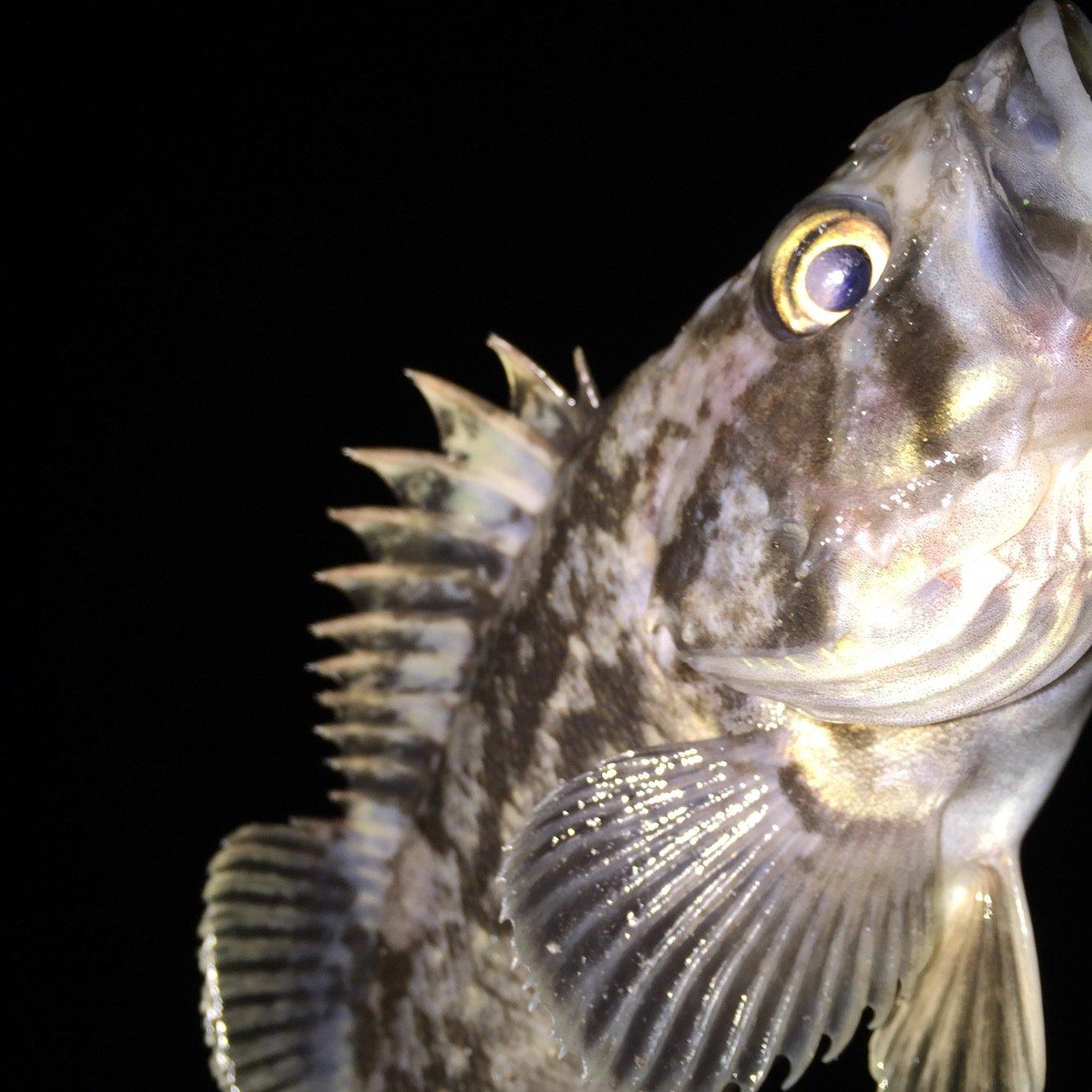 Tommyさんの投稿画像,写っている魚はクロソイ