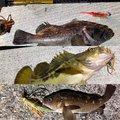 ごっこさんのシマゾイの釣果写真