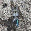 ⚓下越の海賊⚓ ラフィートさんの新潟県岩船郡での釣果写真