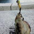 もんたんさんの広島県呉市での釣果写真