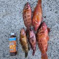 Ryota さんの長崎県長崎市でのアカハタの釣果写真