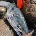 チャーさんの北海道斜里郡での釣果写真