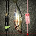 ナブラ太郎さんの和歌山県での釣果写真