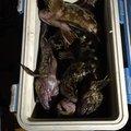 ノリさんさんの三重県四日市市でのカサゴの釣果写真
