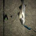 おーのーさんの新潟県北蒲原郡での釣果写真