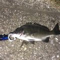 TKさんの高知県での釣果写真