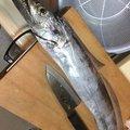 akipapaさんの大阪府でのタチウオの釣果写真