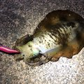 おっさんさんの福井県丹生郡でのアオリイカの釣果写真