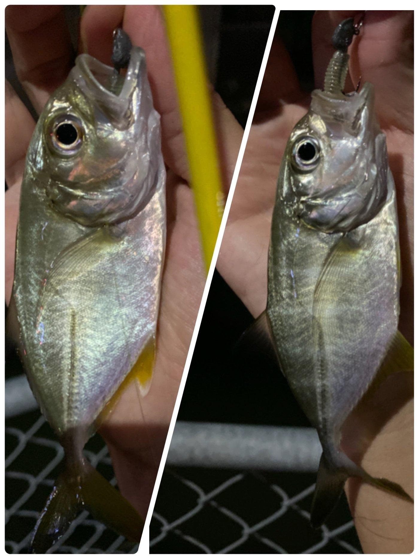 yoshiさんの投稿画像,写っている魚はギンガメアジ