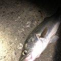 中トロさんの新潟県北蒲原郡での釣果写真