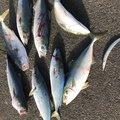 ゆっけさんの岩手県での釣果写真