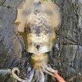 タコさんの山口県下松市でのアオリイカの釣果写真