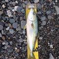 おしんさんの新潟県糸魚川市での釣果写真