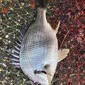 ユタキングさんのキチヌの釣果写真