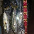 サザビーさんの大阪府での釣果写真
