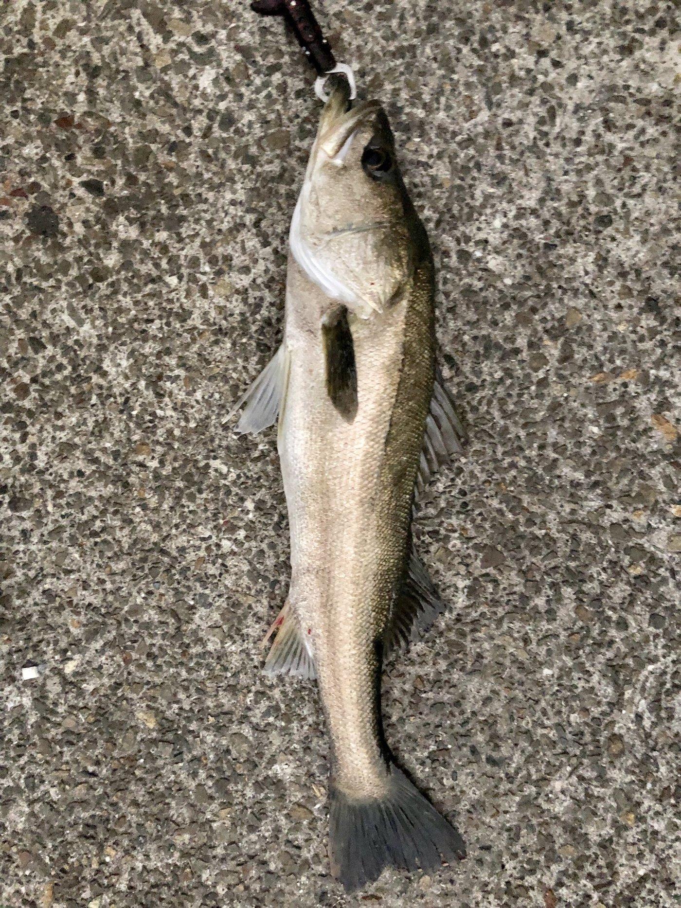 ギンポ野郎さんの投稿画像,写っている魚はスズキ,