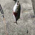 ベンさんの大阪府での釣果写真