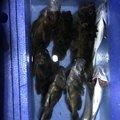 まん丸さんの愛知県名古屋市でのカサゴの釣果写真