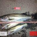 Mr.NRHDさんの茨城県東茨城郡でのスズキの釣果写真