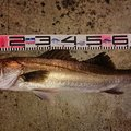 1048さんの新潟県での釣果写真