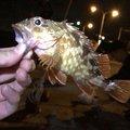 Gpさんの大阪府での釣果写真