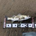 海戦型トナカイさんの新潟県での釣果写真