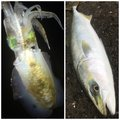 mazumeさんの静岡県伊東市でのアオリイカの釣果写真