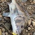 まさのりさんの鹿児島県薩摩川内市でのクロダイの釣果写真